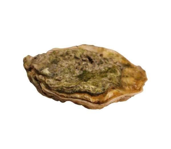 Bretonische Auster
